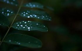 Обои зелень, листья, вода, капли, макро, природа, зеленый
