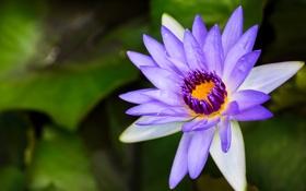 Обои лепестки, цветок, лотос, сиреневый, макро