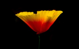Картинка цветок, природа, растение, мак, лепестки