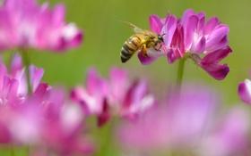 Обои нектар, пчела, розовый, клевер, цветки