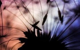 Картинка закат, природа, пушинки, парашютики, одуванчик
