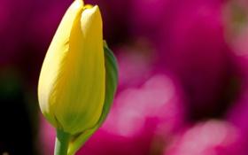 Картинка цветок, желтый, фон, розовый, тюльпан, фокус, размытость