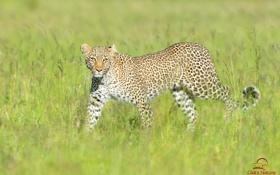 Обои трава, хищник, леопард, саванна