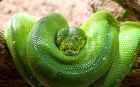 Картинка зеленый, змея, кольца, голова, чешуя, питон