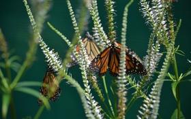 Картинка макро, бабочки, цветы, насекомые