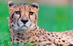 Обои гепард, хищник, взгляд