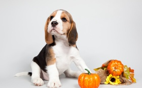 Картинка щенок, тыква, уши, порода, бигль