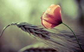 Картинка пшеница, макро, цветы, природа, фон, колосья