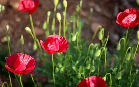 Обои красные, маки, лепестки, цветы