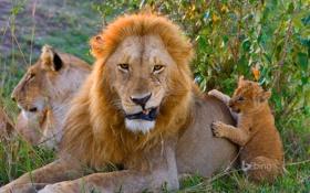 Обои трава, лев, Африка, львенок, деревце, прайд, Kenya