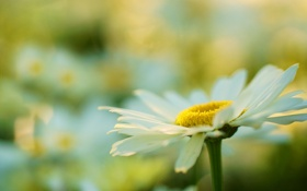 Картинка цветок, ромашка, лепестки, белый, макро