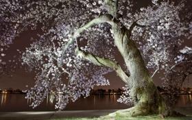 Картинка ночь, город, река, весна, вечер, Сакура, цветение