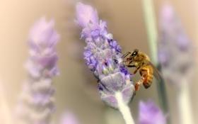 Картинка лаванда, пчела, цветы, размытость