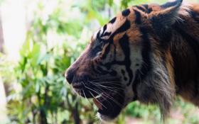 Обои морда, тигр, хищник, клыки, профиль, дикая кошка
