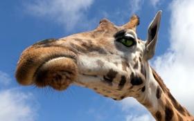 Картинка небо, макро, природа, жирафа