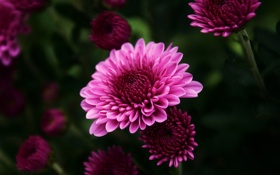 Обои макро, цветы, розовая, хризантема