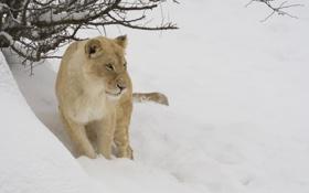 Картинка зима, морда, снег, ветки, хищник, львица, дикая кошка