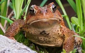 Картинка лягушка, трава, взгляд