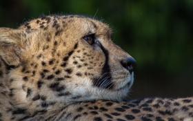 Картинка морда, хищник, пятна, гепард, профиль, мех, дикая кошка