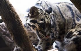 Обои дымчатый леопард, дикая кошка, морда, свет, хищник