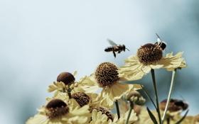 Обои осы, нектар, фото, насекомые, лепестки, обои, природа