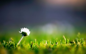 Обои цветок, трава, макро, цветы, один