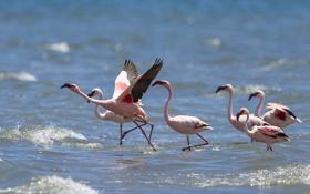 Обои природа, фламинго, вода, птицы