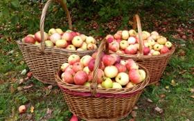 Обои яблоки, сад, корзины