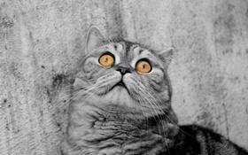 Обои глаза, кот, монохром