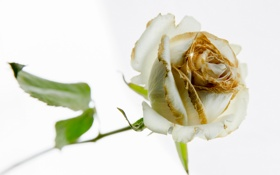 Картинка роза, фон, цветок