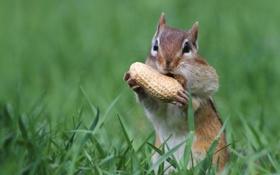 Обои бурундук, орех, щеки, грызун, арахис