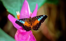 Обои цветок, макро, бабочка, насекомое