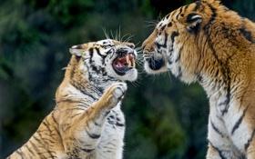 Обои кошки, тигр, пара, клыки, оскал, злой, амурский