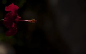 Картинка цветок, макро, цветы, пыльца, пестик, гибискус