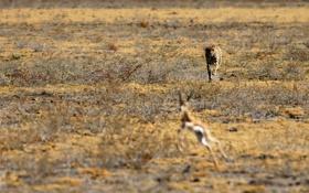 Обои охота, саванна, африка, леопард