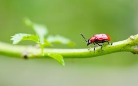 Обои листья, травинка, насекомое, жук, ветка, красный
