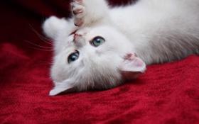 Обои киса, котенок, кисуля