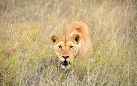 Обои природа, лев, Африка