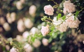 Обои роза, куст, цветы