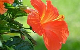 Обои макро, гибискус, китайская роза