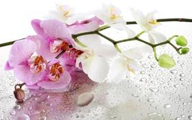 Обои стекло, вода, цветы, капельки, орхидея