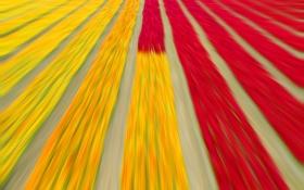Обои поле, текстура, тюльпаны, плантация
