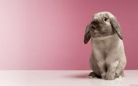 Картинка кролик, серый, домашний