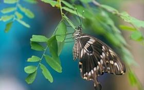 Обои листья, бабочка, макро