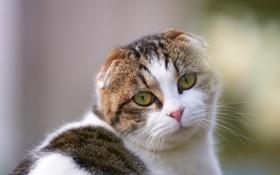 Обои глаза, взгляд, мордочка, шотландский вислоухий, Скоттиш-фолд
