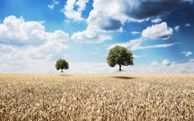Картинка поле, деревья, колосья