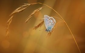 Обои макро, фон, бабочка, насекомое, колосок