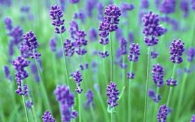 Картинка фиолетовый, цветы, зеленый, сиреневый, растения