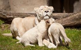 Обои кошки, семья, львица, белые львы, львёнок, детёныши