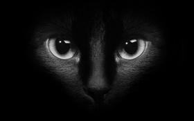 Картинка кошка, глаза, кот, котэ, тёмный фон